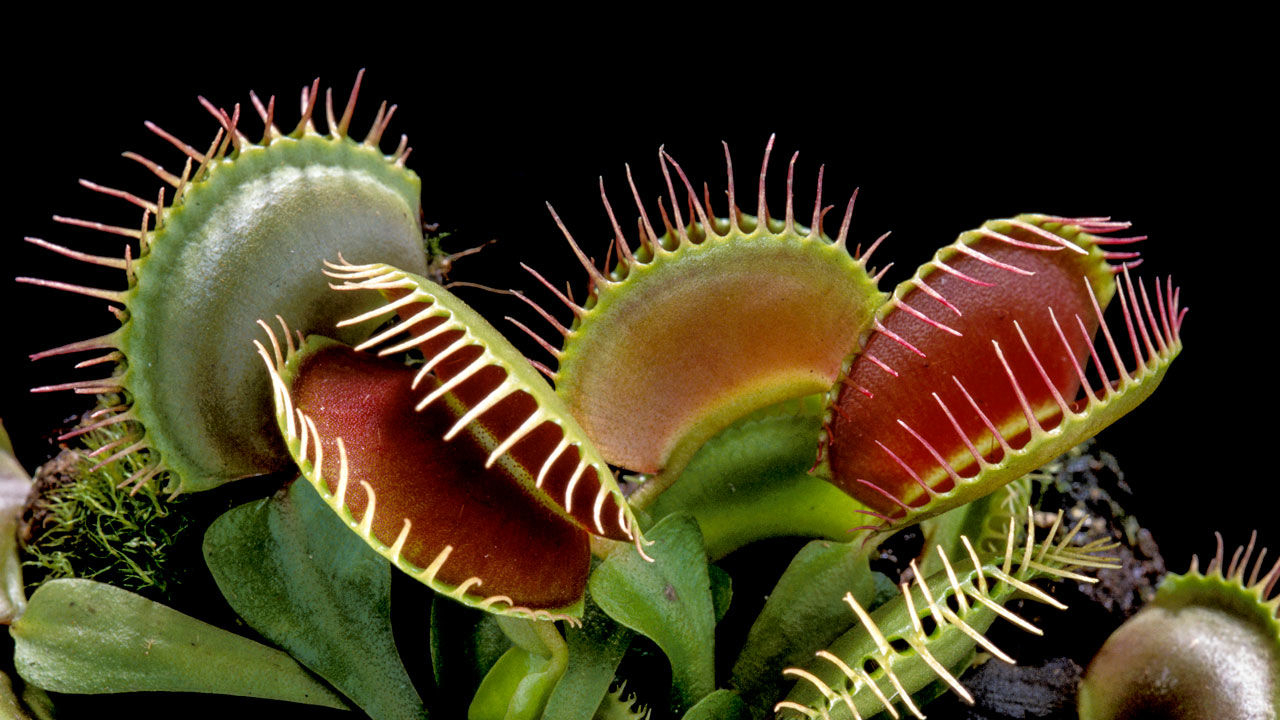 植物 食 虫